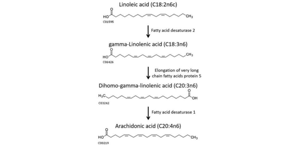 Metabolism of linoleic acid