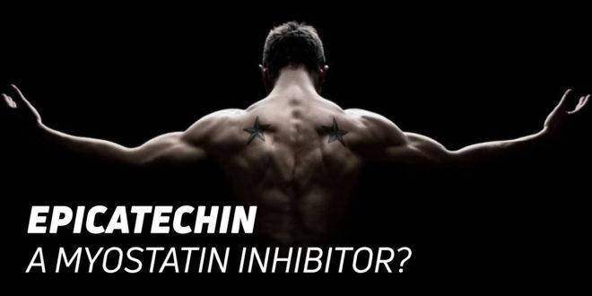Epicatechin from Cocoa: A Myostatin Inhibitor?