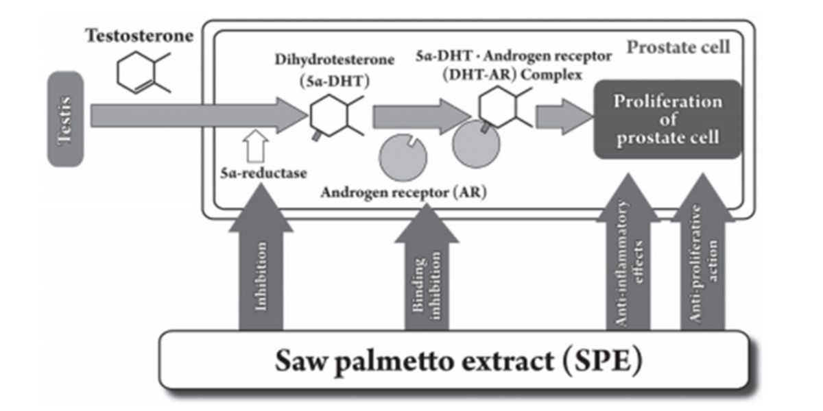 Saw Palmetto on 5-alpha-reductase enzyme inhibition