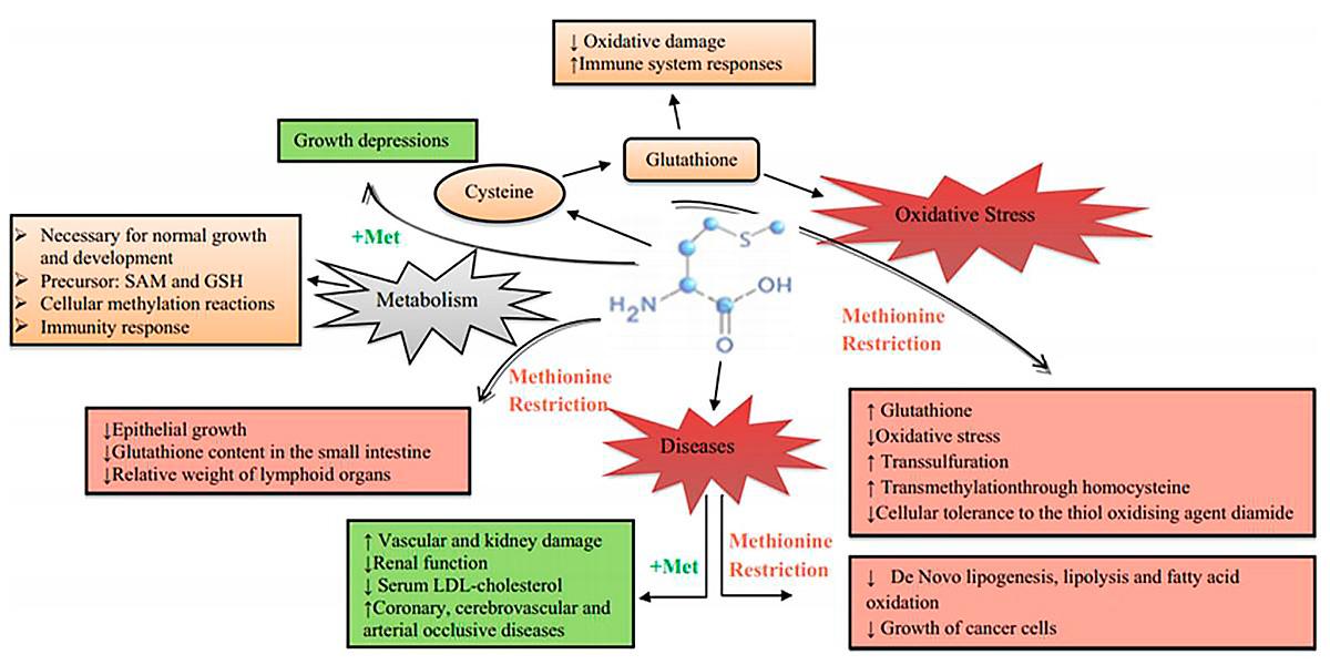 Biological effects of Methionine