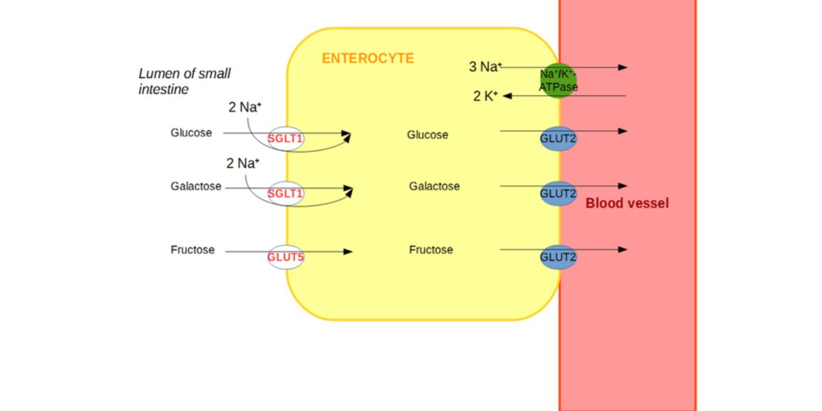 Absorption of monosaccharides in the enterocyte