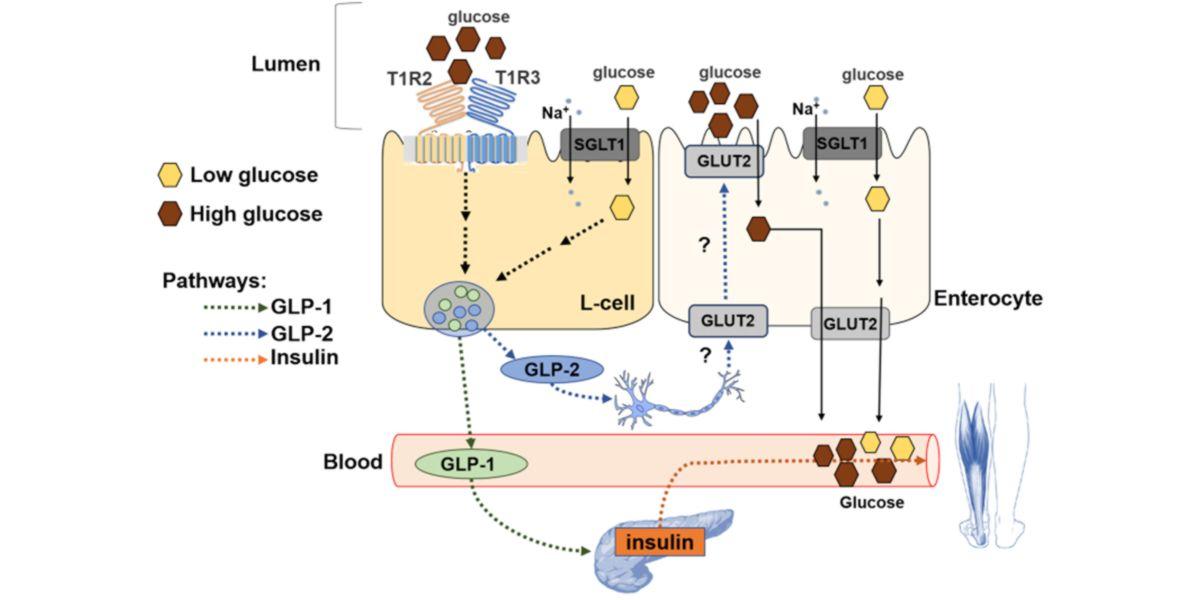Molecular translocation of GLUT2