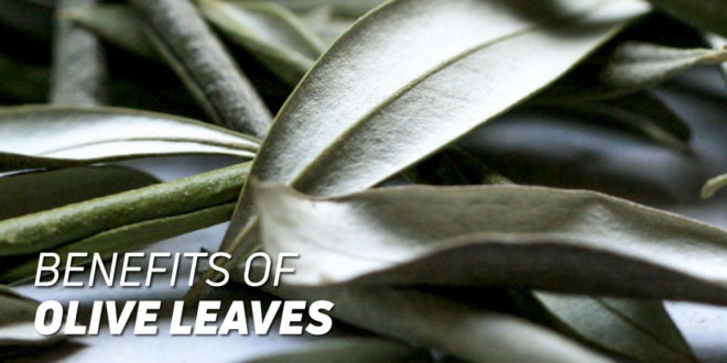 Benefits of Olive Leaves