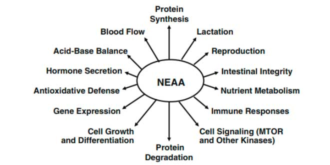 Functions of non essential amino acids