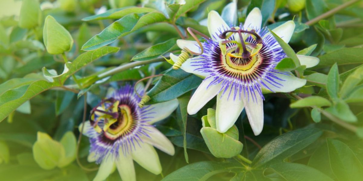 Passionflower blooming