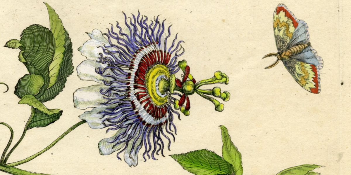 Passionflower drawing