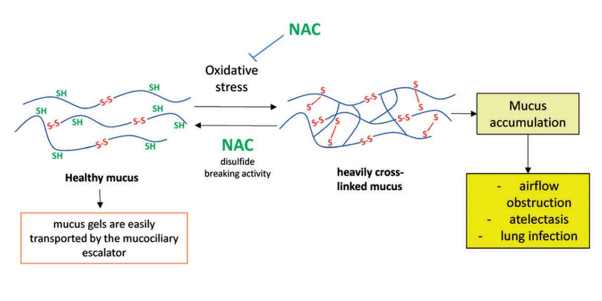 NAC action mechanism