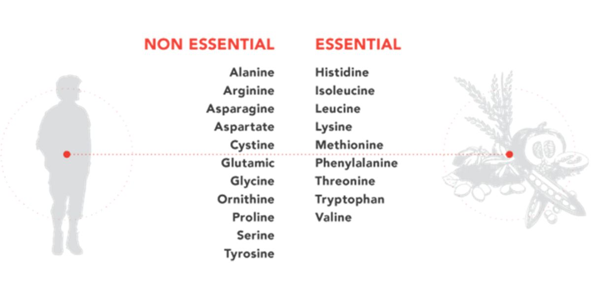 Non-essential and essential amino acids