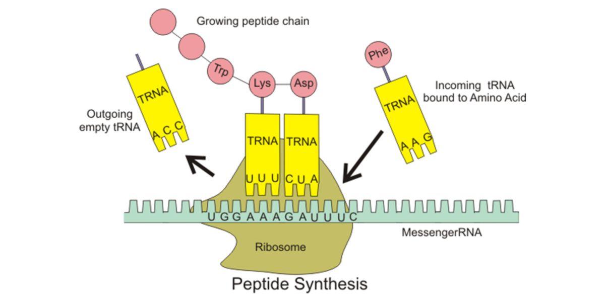 Ribosomal synthesis