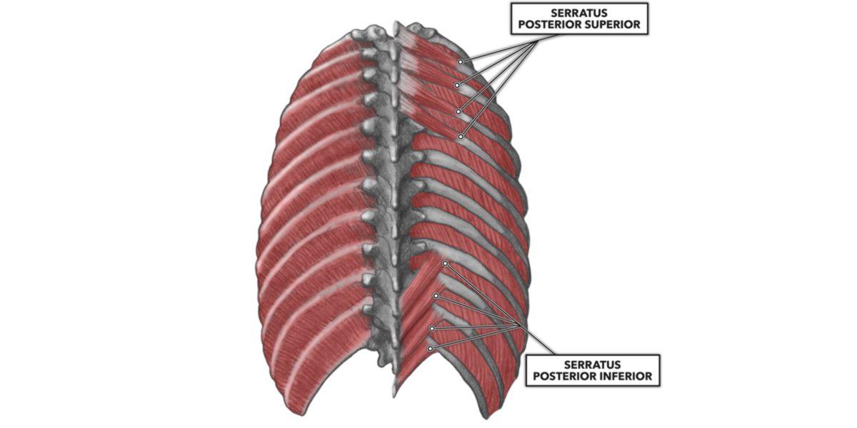 Serratus posterior