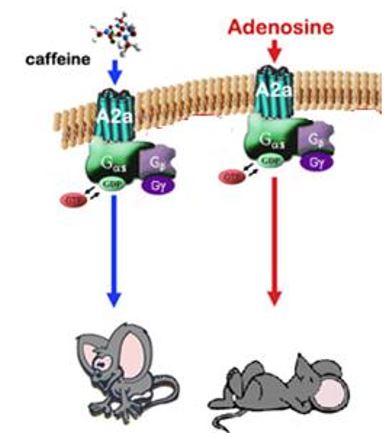 Caffeine adenosine