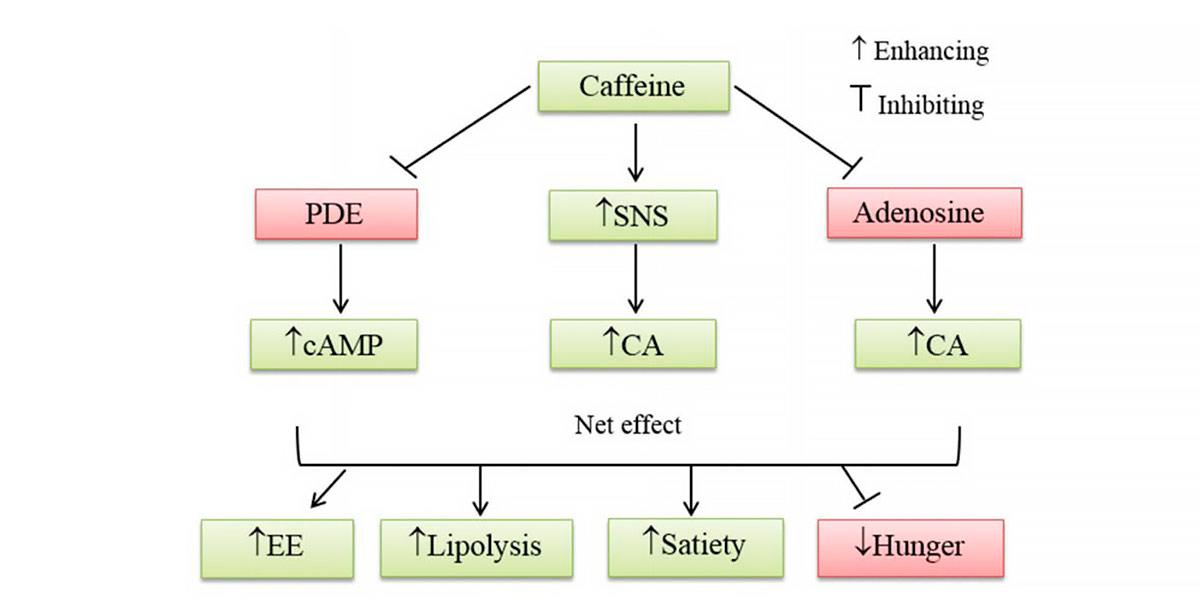 Lipolysis diagram