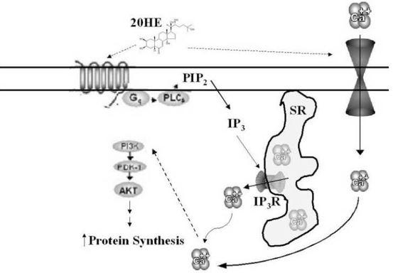Hydroxy-Ecdysterone