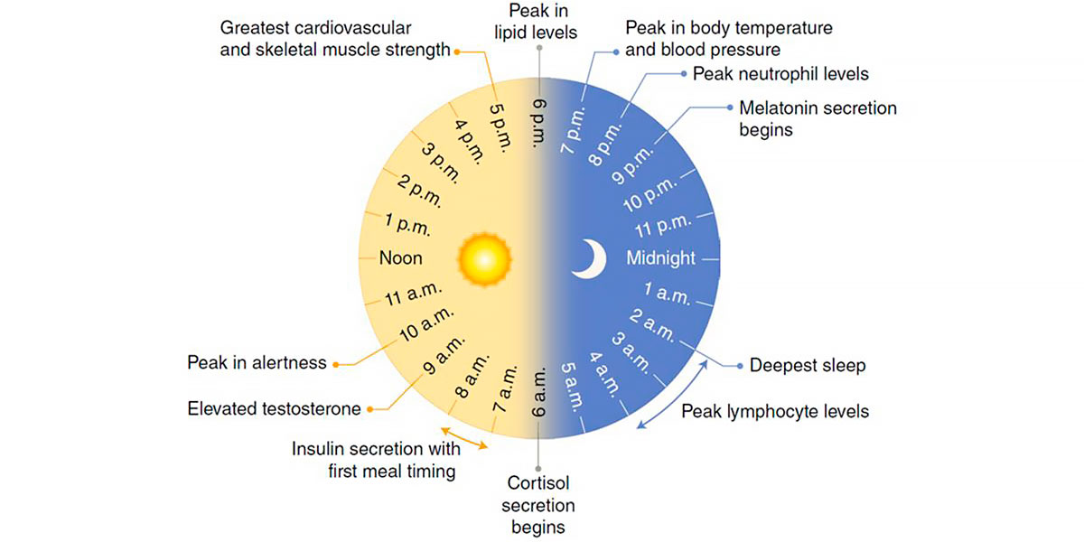 Structure of circadian rhythms. Best time to train
