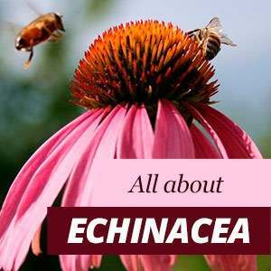 Echinacea - Benefits and Properties