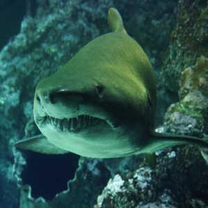 Shark Cartilage Benefits and Properties