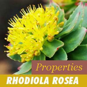 Rhodiola Rosea Properties