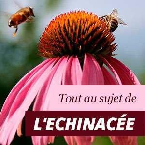 Tout sur Echinacea